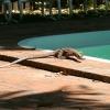 Goanna at Cape Kimberley