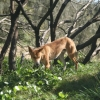 This Dingo walked right up to our tents!